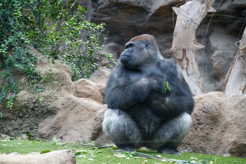 Zoo Animals  Zoo Animals  Animal Gorilla Loro Park LoroParque Mammal Nature No People Non-urban Scene Tenerife Zoo Primate Sitting Zoo Nature One Animal Ape