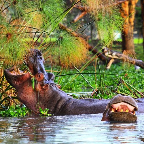 A Family of Hippopotamus grazing. Hippos are the third largest land mammals, while they stay in water most of their time they can't swim. Kenya Africa Lakenaivasha