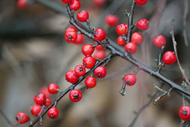 Close-Up Of Wet Rowanberries Growing On Tree