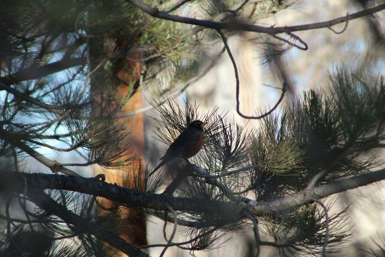 Robin Bird Birds_n_branches Bird Hidden In Tree Tree And Sky Pine Tree