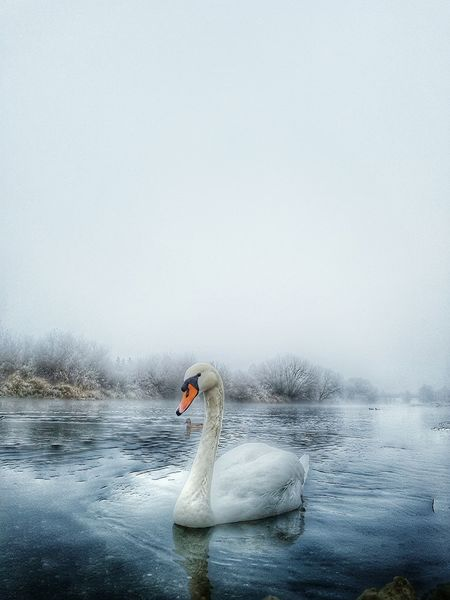 Bird Swimming Animals In The Wild Animal Wildlife Water Water Bird Animal Themes Nature Outdoors No People Swan Day Sky Nature On Your Doorstep River Nature Photography Floating On Water One Animal One Landscape Nature_collection