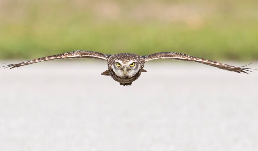 Burrowing owl in flight Florida Owl Burrowing One Animal Animals In The Wild Animal Themes Animal Wildlife Animal Vertebrate Bird Bird Of Prey Nature Mid-air Focus On Foreground Zoology Animal Body Part Close-up Flying Outdoors Spread Wings No People Day Portrait