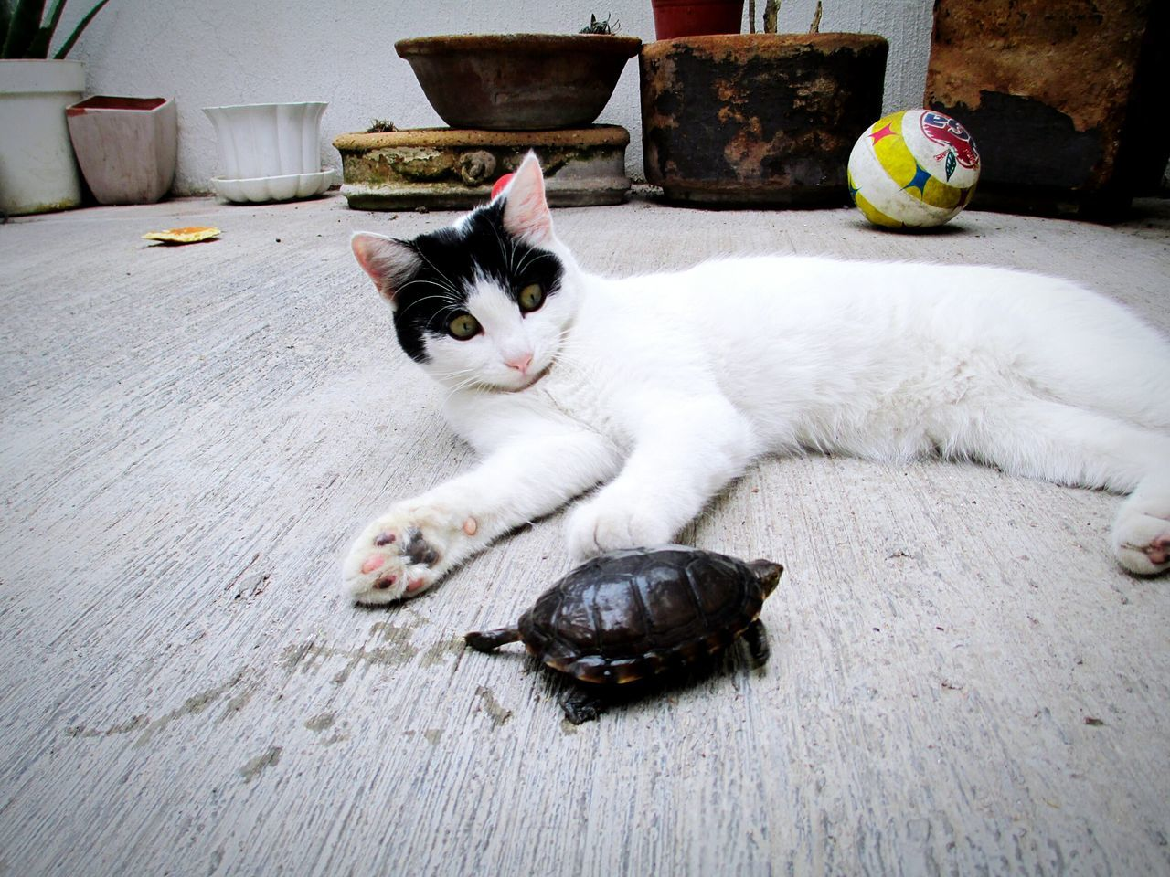 Cat Relaxing By Tortoise On Floor