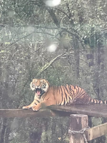 Sumatran Nature Tiger Tiger One Animal Endangered Species Animal Wildlife Safari Animals