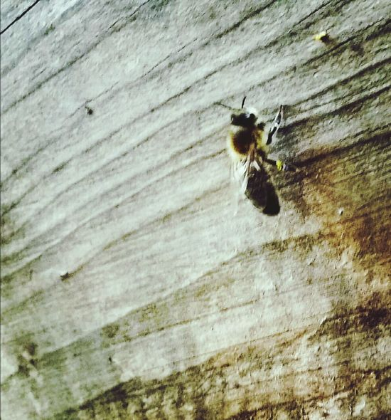 First pollen of the year Animals In The Wild Animal Themes Insect One Animal Animal Wildlife No People Close-up Beauty In Nature Nature Outdoors Bees Bees And Flowers Beekeeping Beekeeper, Honey