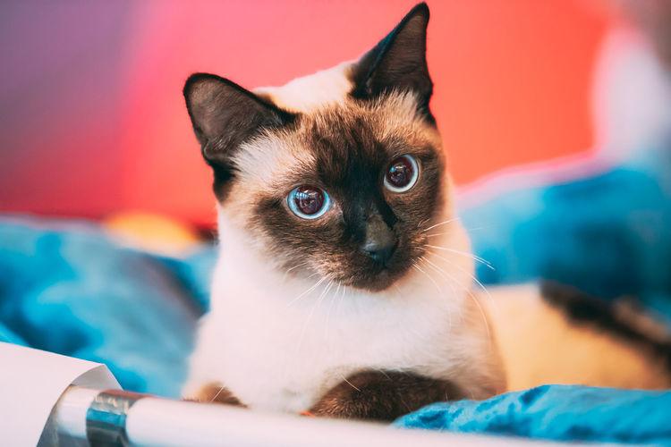 Close up portrait of mekong bobtail cat kitten in bed. funny close up mekong bobtail cat.