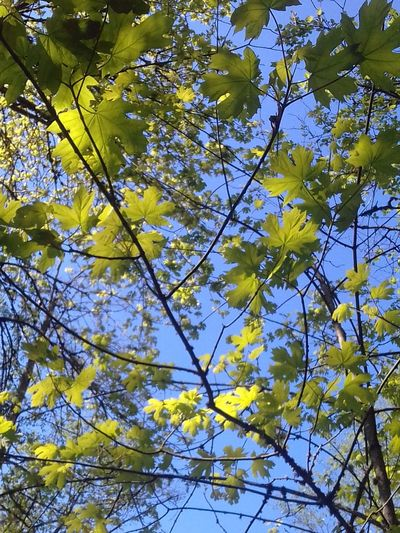 Appreciating Springtime Growth Low Angle View Backgrounds Leaves And Branches No People