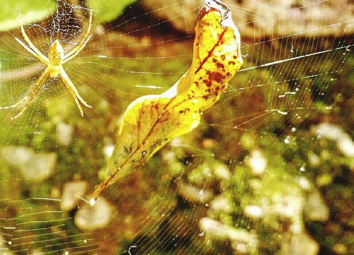 Aracnidos Arachnid Arachnophobia Aranha Aranhaamarela Leaf Teia