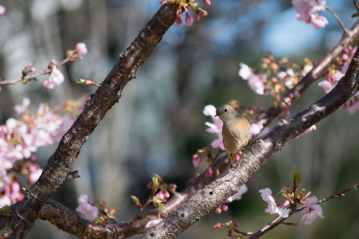 One Animal Animal Themes Animals In The Wild Bird Branch Nature Perching Animal Wildlife Tree No People Beauty In Nature Day Outdoors Cherry Blossoms ジョウビタキ 伊東小室桜