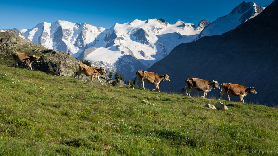 Cows Engadin Landscape Mountain No People Pia Palü Scenics Tranquil Scene