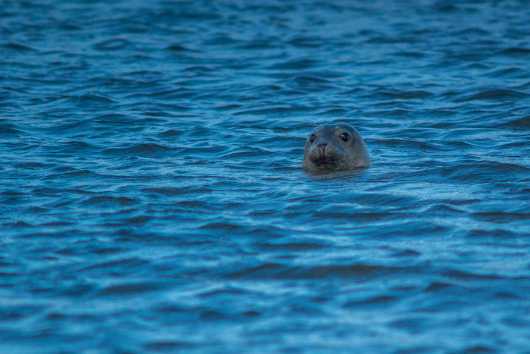Animal Themes Animals In The Wild Blue Curious Day Inquisitive Nature Newburgh No People One Animal Rippled Sea Seal Selective Focus Swimming Watching Water Water Surface Wildlife Zoology