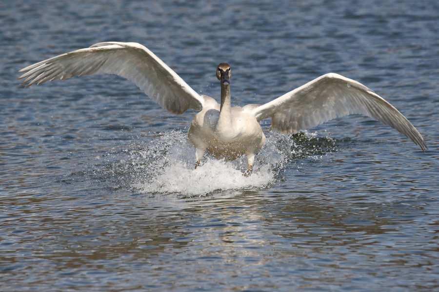 Trumpeter Swan Animal Themes Animal Wildlife Animals In The Wild Bird Day EyeEm Nature Lover Flapping Nature No People One Animal Outdoors Spread Wings Trumpeter Swan Water Waterfront