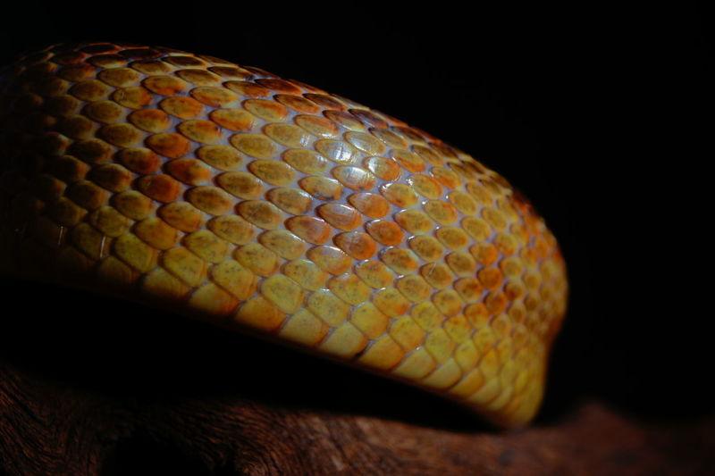 Close-up of rat snake on wood