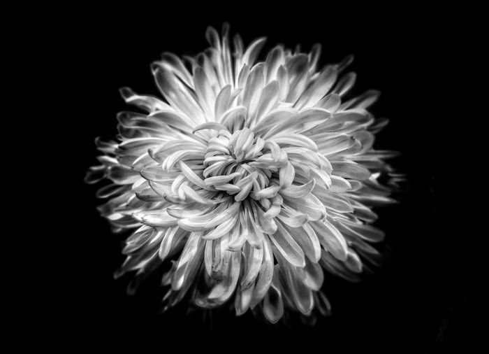 Close-up of dahlia against black background