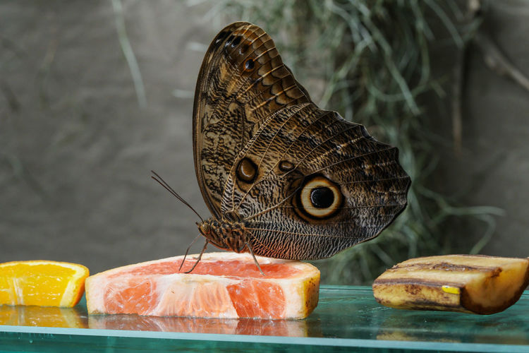 Close-up of butterfly on fruit