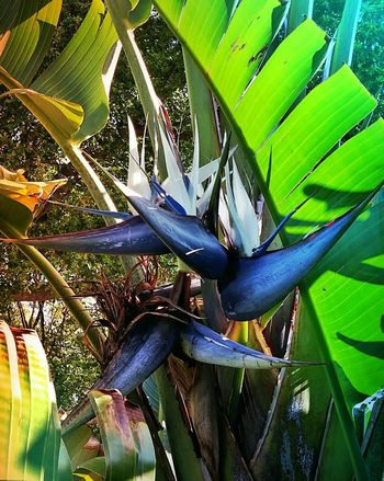 White Bird of Paradise! White Bird Of Paradise Huge Tree Close-up Tropical Plant Beauty In Nature Beautiful Creation Gorgeous Color Blue Birds On Plant EyeEm Nature Lover EyeEm Cell Phone Photography
