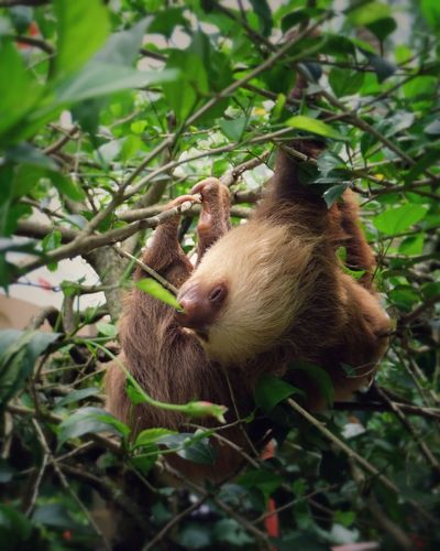 Costa Rica Animals In The Wild Sloth Cutie Wildlife Rainforest Nature Green Nature_collection Nature Photography No People Close-up Outdoors Animal Wildlife Calmness Love The World Paradise