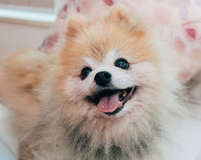Pomeranian dog portrait One Animal Mammal Pets Domestic Domestic Animals Pomeranian Dog Canine Purebred Breed Portrait Pom Animal Looking At Camera Close-up Mouth Open Facial Expression Smiling Indoors  Animal Mouth Small Snout