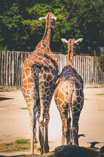 Rear view of two giraffes