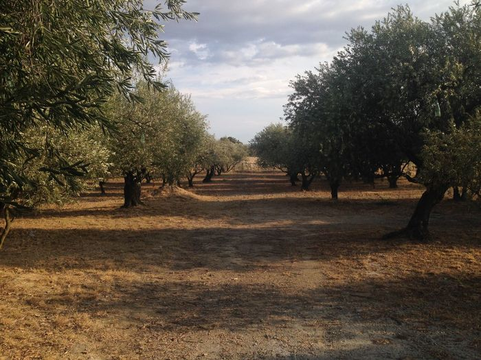 LanguedocRoussillon Cesseras Landscape Scenics Sky No People French Landscape Olive Tree Orchard Olive Trees France South Of France Hérault