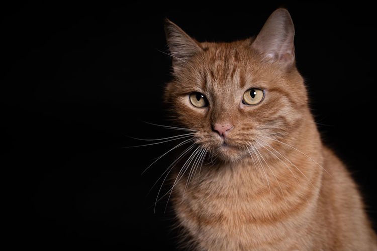 Mammal Animal Themes One Animal Animal Cat Domestic Pets Domestic Animals Domestic Cat Feline Black Background Portrait Looking At Camera Studio Shot Whisker Close-up No People Ginger Cat Animal Eye Animal Head  Space For Text
