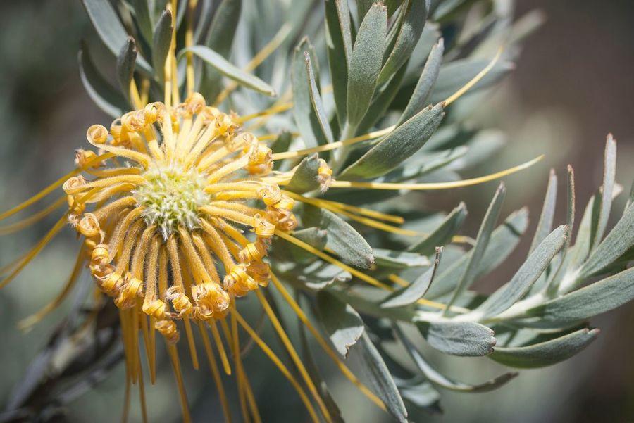 Protea Flowers Flower Flora Plant Nature Macro Photography Depth Of Field Botanical Gardens