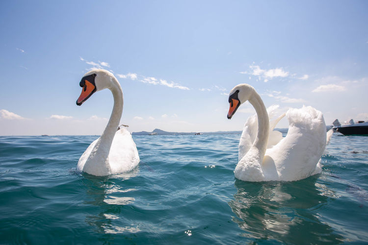 Two swans swimming in sea at lake garda italy