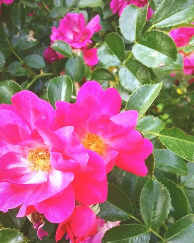 Always stop to smell the flowers Flower Petal Pink Color Close-up Beauty In Nature Nature Bloom Fragility