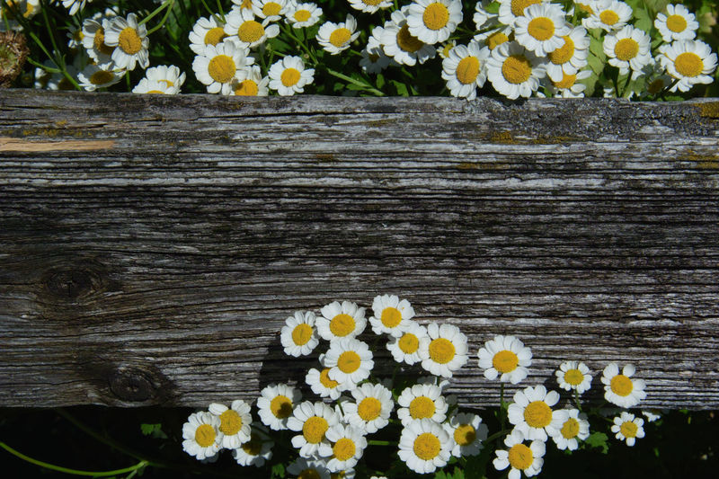 Weathered Beauty In Nature Close-up Fence Feverfew Flower Flowering Plant Fragility Freshness Grey Inflorescence Mutterkraut Nature Plant Tanacetum Vulnerability  Wood - Material Zaun