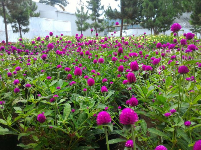 Red Flower Flower Flower Head Tree Pink Color Flowerbed Purple Field Plant Blooming Sky