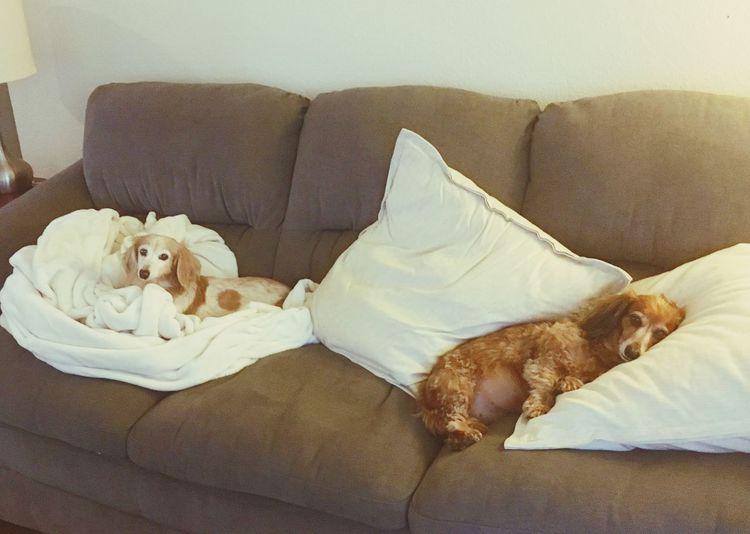 Minituredachshund Minidaschound Spoiled Love Family Lazy Day Rainy Days