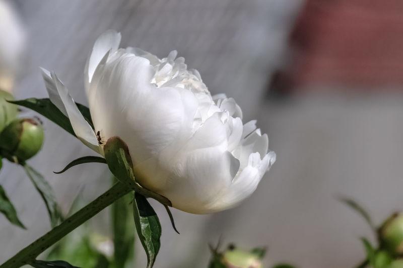 White peony.