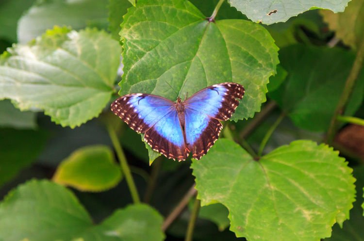 Blue butterfly on a leaf Animal Wildlife Animal Wing Beauty In Nature Butterfly Butterfly - Insect Close-up Day Flower Focus On Foreground Freshness Green Color Growth High Angle View Insect Invertebrate Leaf Nature No People One Animal Outdoors Plant Plant Part