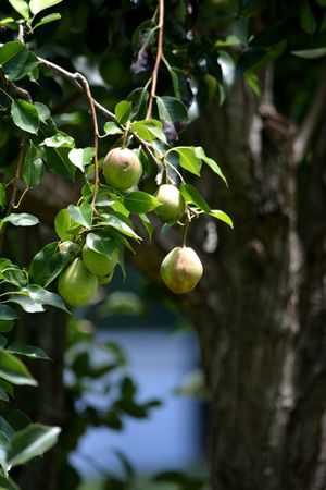 pears ripening in the sun Sunlight Pears Pear Tree  Ripening Fruit Fruit Tree Fruit On Tree Tree Branch Fruit Leaf Agriculture Food Staple Hanging Fruit Tree