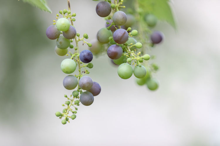 Close-up of grapes hanging on plant