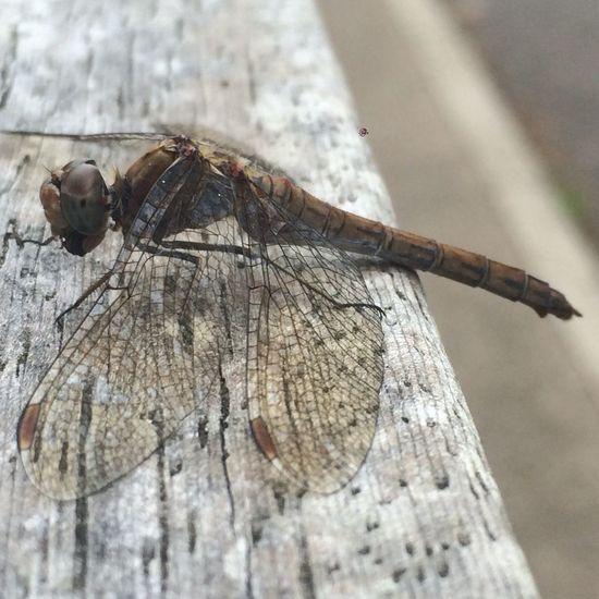 First Eyeem Photo Maximum Closeness Nature Dragonfly