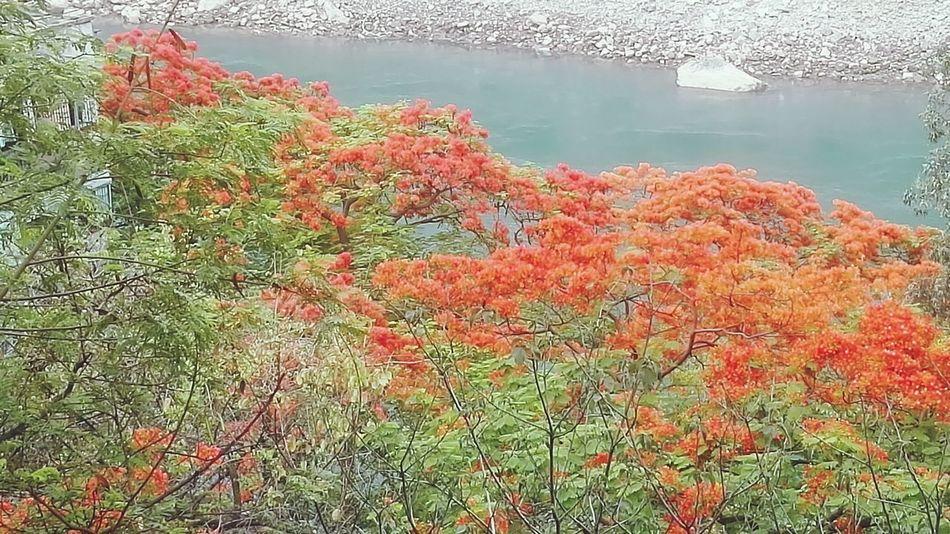 凤凰树系列16 Water Lake Tree Reflection Sky Grass