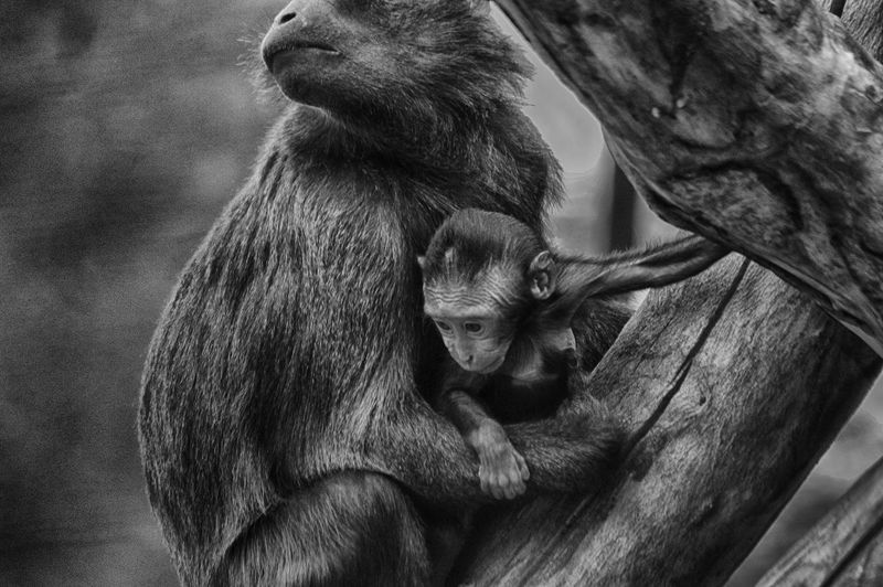 Close-up of mother and baby monkey