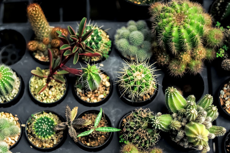 Potted cactus plants in container