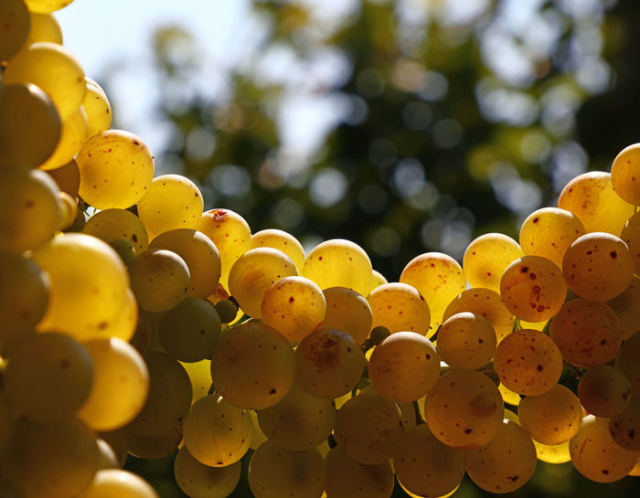 Close up of shinygolden ripe Autumn grape racemation bunches in vineyard Agriculture Autumn Bunch Of Grapes Copy Space Freshness Golden Growth Hanging Shiny Abundance Brown Bunch Close-up Crop  Day Focus On Foreground Grape Harvest Ripe Season  Vineyard Vintage Winemaking Yellow