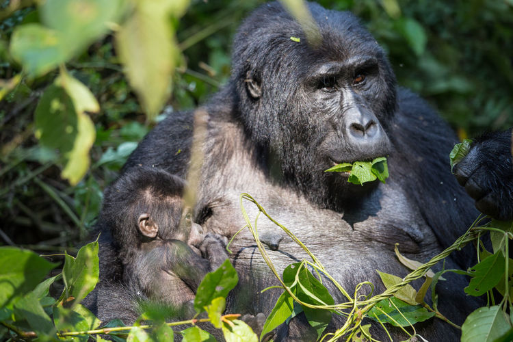 Close-up of gorilla with baby amidst plants