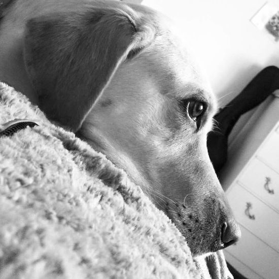 Black And White Portrait Black And White Photography Blackandwhite Photography Black & White Black&white Black And White Blackandwhite Animal Taking Photos Closeup Dog Dogs Dog Love Dog❤ Waking Up Waking Up And Looking At