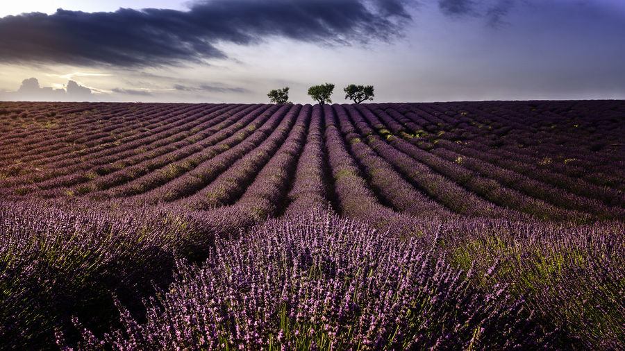 Valensole Côte D'Azur Field France Lines Marseille Mediterranean  Provence Scenic Trees Wavy Aroma Aromatic Blossom Colorful Field Of Lavender French Landscape Lavender Lavender Colored Magenta Perfume Purple Strokes Sunset To Plant Something EyeEmNewHere My Best Travel Photo My Best Photo