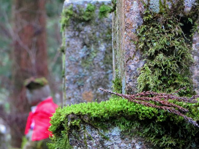 Beauty In Nature Buddhism Cedar Tree Flower Focus On Foreground Graveyard Beauty Growth Japan Japanese History Koyasan Moss Mossporn Mount Koya Old Plant Selective Focus