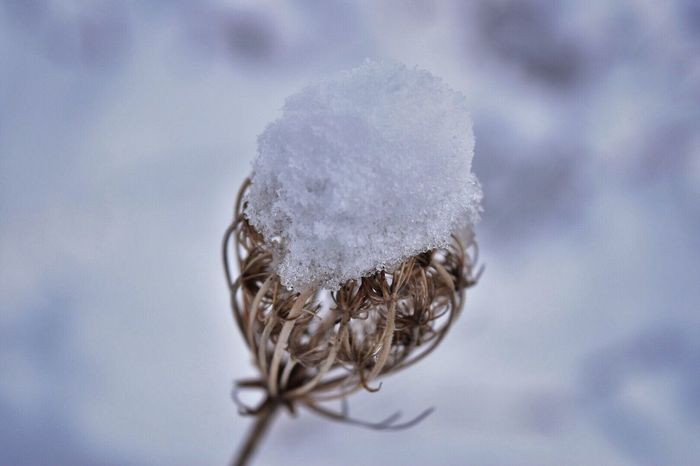 Cold Temperature Nature Close-up Winter No People Snow Beauty In Nature Outdoors Day Dried Plant Snow ❄ Snowing Snow Covered Weeds Are Beautiful Too Outdoor Photography Outside Nature Beauty In Nature Simplicity Tranquility Detail Macro Photography Close Up