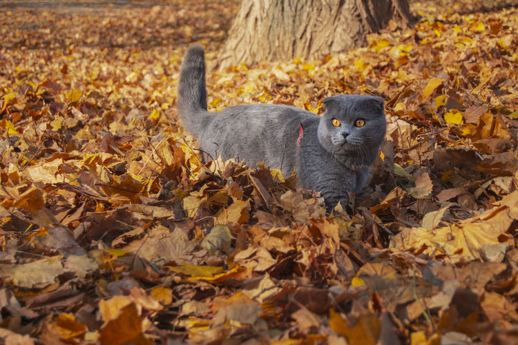 Animal Themes Animal Plant Part Leaf One Animal Autumn Mammal Change Animal Wildlife Vertebrate Animals In The Wild Nature Day No People Leaves Dry Falling Land Outdoors Portrait Whisker Cute Kitten Belarus Autumn Scotishfold Beauty In Nature
