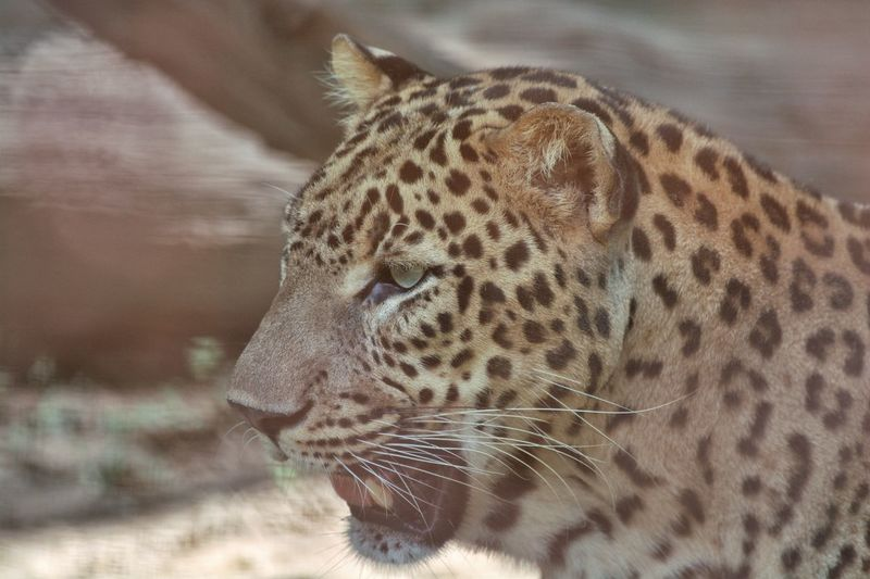 Cat family. Leopard Wildlife Animals In The Wild Animal Themes Animal Cat Nature Leopard Spotted Close-up Cat Family Big Cat Cheetah Animal Eye