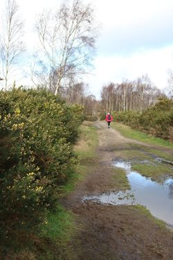 Beauty In Nature Chobham Common Countryside Day Gorse Growth Heathland  Leisure Activity Lifestyles Nature Outdoors Puddle Real People Sky Track Tree Walking