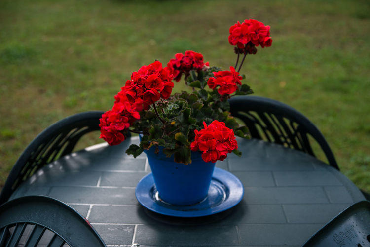 Close-up of potted geranium on table at grassy field