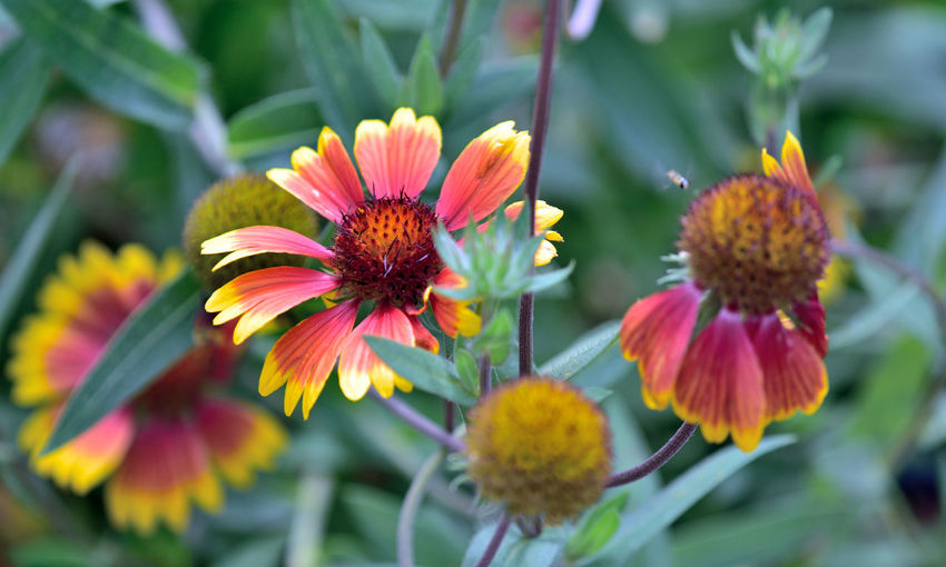 Late Summer At Merritt Gardens 1 Oakland, Ca. The Gardens At Lake Merritt Lakeside Park Garden _collection Garden_Photography Blooms Indian Blanket Gaillardia Pulchella Asteraceae Flowers Flower Head Blooming Perennial Flower_Collection Petals Orange Yellow Tips Late Summer -early Fall Fragility Nature Beauty In Nature Nature_collection Bee Pollination